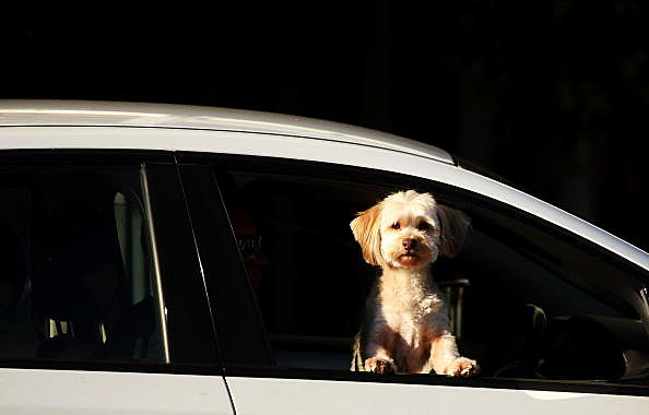 A dog watches from a car