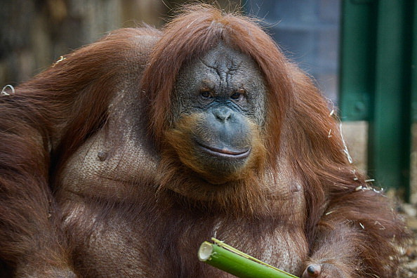 Rome Bioparco Opens A New Area For Orangutans